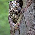 Eurasian Eagle-owl Bubo Bubo Looking by Rob Reijnen