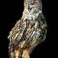 Eurasian Eagle Owl  by Dave Mills