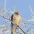 Eurasian Kestrel Falco Tinnunculus by Konrad Wothe