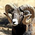 European Big Horn - Mouflon Ram by Teresa Zieba