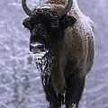 European Bison Bison Bonasus In Snow by Rinie Van Meurs
