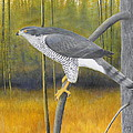 European Goshawk by Alan Suliber