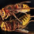 European Hornet On A Mirror by Colin Varndell