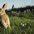 European Rabbit In A Meadow by Cyril Ruoso