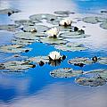 European White Waterlily by Kati Finell