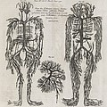Evelyn Table Blood Vessels, 17th Century by Middle Temple Library