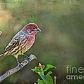 Evening Finch Blank Greeting Card by Debbie Portwood