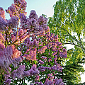 Evening Lilac by Gary Eason