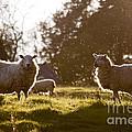 Evening On The Meadow by Angel Ciesniarska