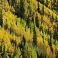 Evergreen And Quaking Aspen Trees by Marc Moritsch