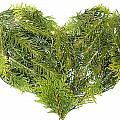 Evergreen  Coniferous Christmas Trees Heart Isolated by Aleksandr Volkov