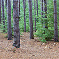 Evergreen Forest by John Stephens