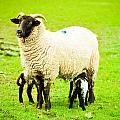 Ewe And Lambs by Tom Gowanlock