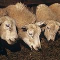 Ewes Feeding by David Aubrey