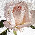 Exploding Pink Rose by M K  Miller