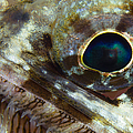 Extreme Close-up Of A Lizardfish by Todd Winner