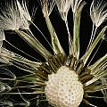 Extreme Close-up Of The Seedhead by Sylvia Sharnoff