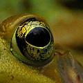 Eye Of Frog by Paul Ward