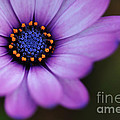 Eye Of The Daisy by Kaye Menner
