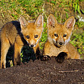 Faces Of Red Fox Pups by Bill Dodsworth