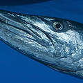 Facial View Of A Great Barracuda, Kimbe by Steve Jones