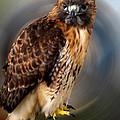 Falco 2 Tinnunculus Vf by Colette V Hera  Guggenheim