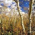 Fall Aspens by Adam Jewell