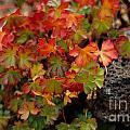 Fall Brilliance by Sharon Elliott