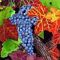 Fall Cabernet Sauvignon Grapes by Mike Robles