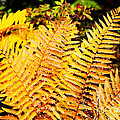 Fall Color Cinnamon Fern by Thomas R Fletcher