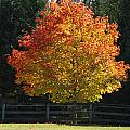 Fall Colored Tree by Optical Playground By MP Ray