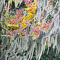 Fall Colors In Spanish Moss by Carolyn Marshall