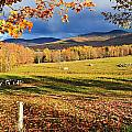 Fall Colours, Cows In Field And Mont by Yves Marcoux