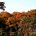 Fall Foliage And Roses by Susan Herber