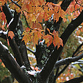 Fall Foliage Of Maple Tree After An by Tim Laman