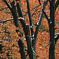 Fall Foliage Of Maple Trees After An by Tim Laman