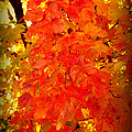 Fall Foliage by Susanne Van Hulst