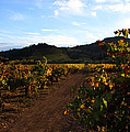 Fall In A Sonoma Vineyard by Susan Rovira