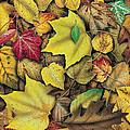 Fall Leaf Study by JQ Licensing