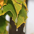 Fall Leaves And Icicles by Cynthia  Cox Cottam