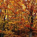 Fall Leaves On Trees by David Chapman