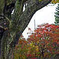Fall Maple by Elaine Mikkelstrup