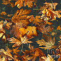 Fall Maple Leaves On Water by Sharon Talson