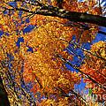 Fall Maple Treetops by Elena Elisseeva