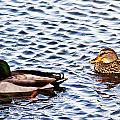 Fall Millards Swiming by Edward Peterson