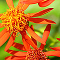 Fall Orange Flowers by Roena King
