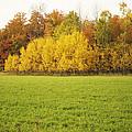 Fall Poplars by Elaine Mikkelstrup