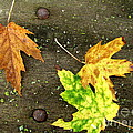 Fall Trio by Marilyn Smith