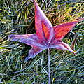 Fallen Autumn Leaf In The Grass During Morning Frost by Randall Nyhof