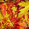 Fallen Autumn Maple Leaves  by Elena Elisseeva
